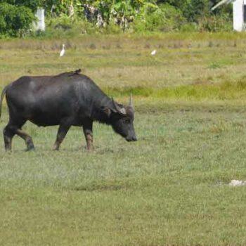 Ein Büffel auf einem Reisfeld auf der Insel Koh Klang