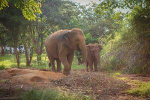 2 der Elefanten von Surin bei einem Auflug über das Gelände