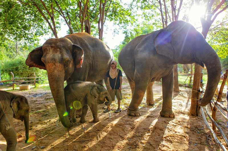 Ein Mahout bei einer Elefantenfamilie im Elefantendorf von Surin