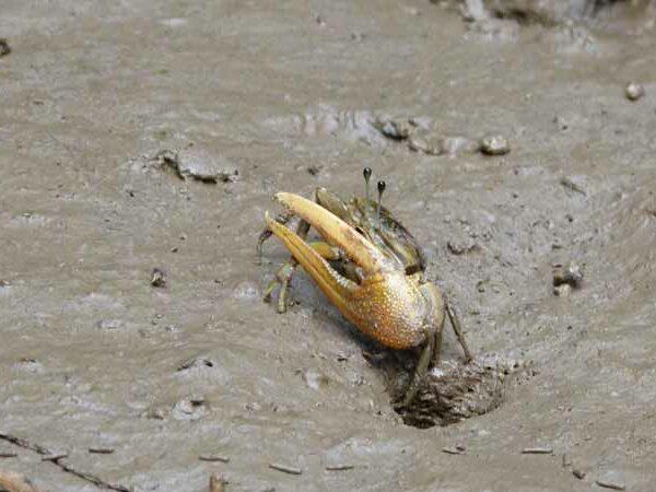 Krebs im Schlick vom Mangrovenwald bei Krabi