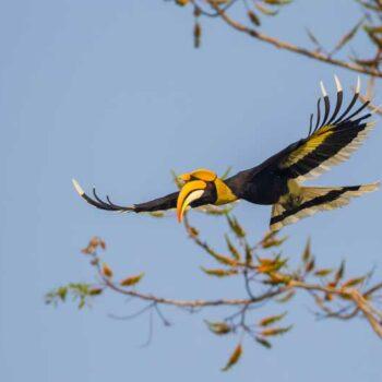 Der Hornbill kommt sehr häufig auf Koh Phayam vor