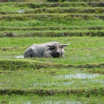 Ein Wasserbüffel auf der Inselhopping Tour nach Koh Sukorn