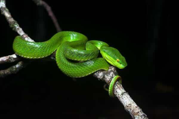 Thailändische Schlange