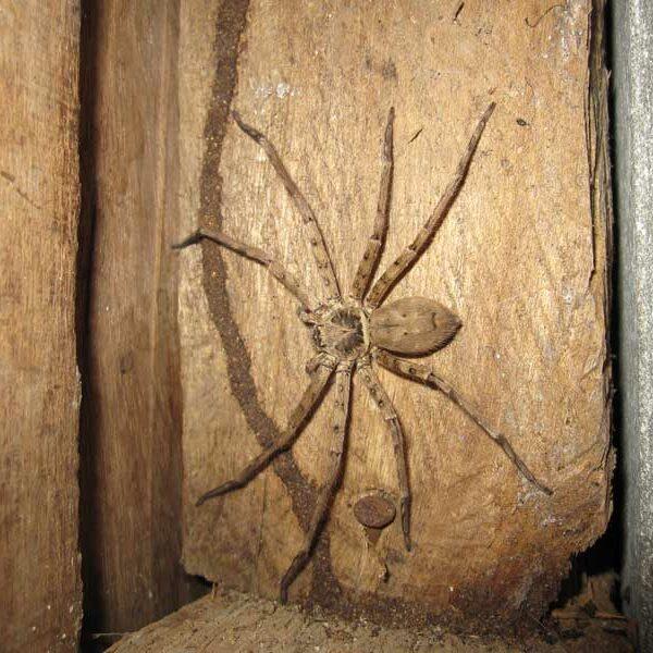 Häufig vorkommende Spinne in Thailand