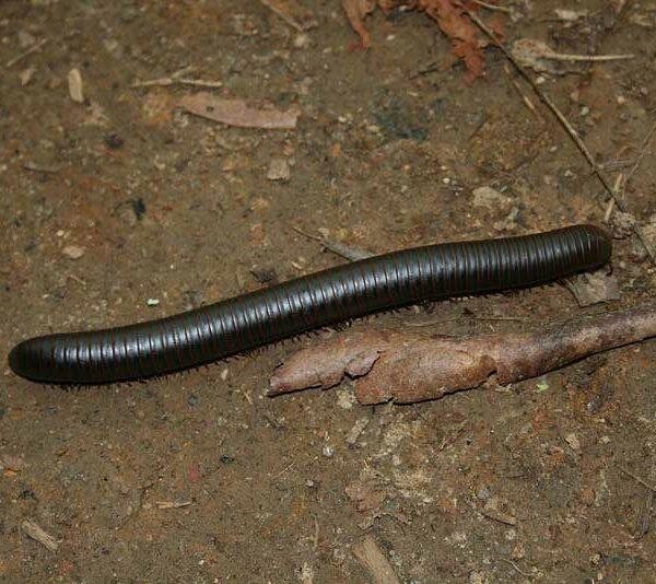 UngiftigerTausendfüsser- Archispirostreptus