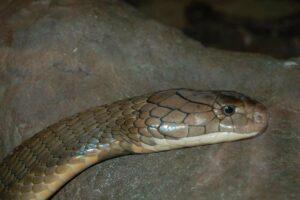 Eine Kobra aus der Nahansicht