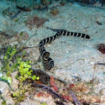 Eine thailändische Wasserschlange. Vorsicht bissig!