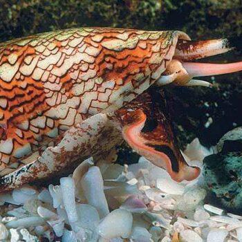Die Kegelschnecke inm Ozean von Thailand