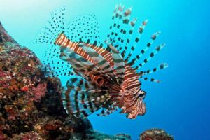 Der rotfeuerfisch bei einer Berührung zum gefährlichen Gefährten werden