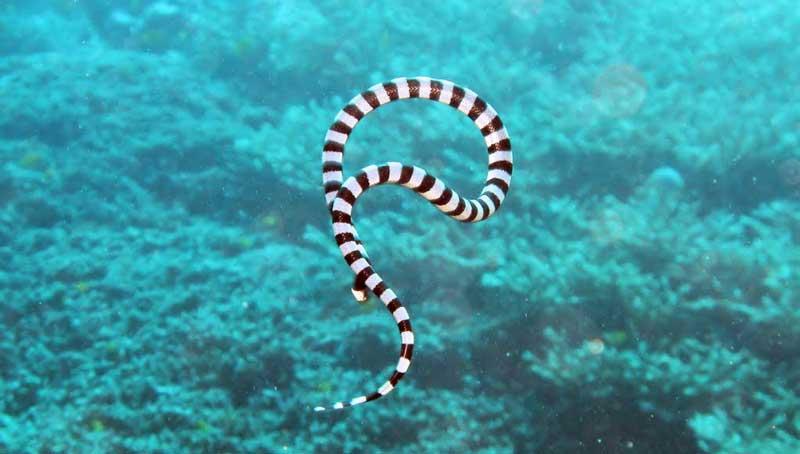 Giftige Seeschlangen
