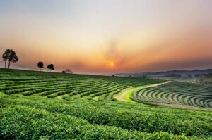 Chiang Rai Rundreise Nordthailand Teeplantage