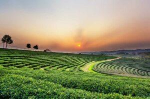 Sonnenuntergang über einer Teeplantage in Chiang Rai